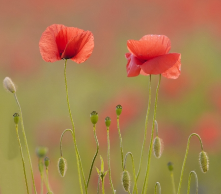 the poppies photo