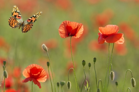 poppies and butterfly photo