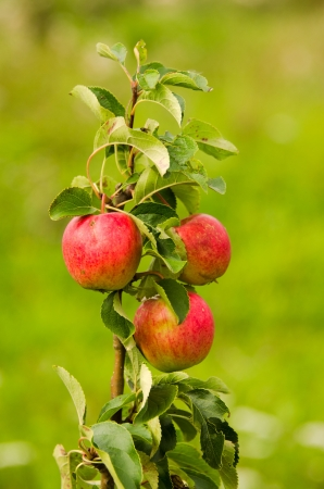 red apples on a youg tree photo