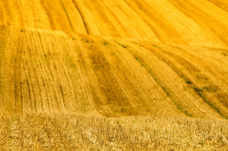 yellow waves in a field Stock Photo - 15823392