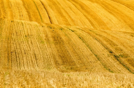 hills in the wheat fields photo