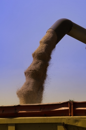 harvesting and tranvasement of wheat grains photo