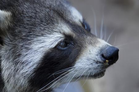 the raccoon Reklamní fotografie