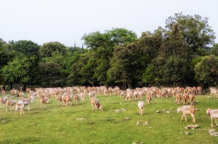 ovine: sheep transhumance