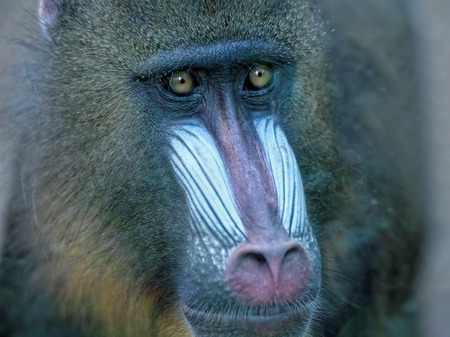 mandrill: the mandrill Stock Photo