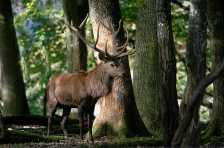 venado: ciervos en el bosque