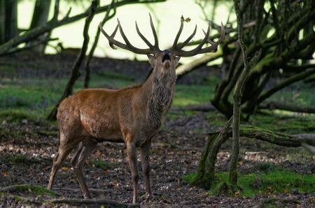 rut: the rut of deer