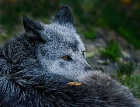 lobo: El Lobo Negro Foto de archivo