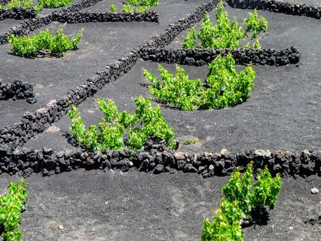 lanzarote: the vines of lanzarote