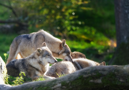 gray: gray wolves