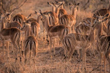 herbivore: impala in south africa