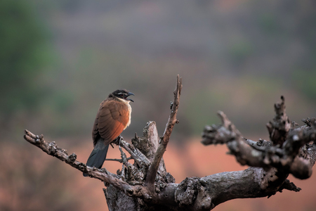 burchell: coucal of burchell