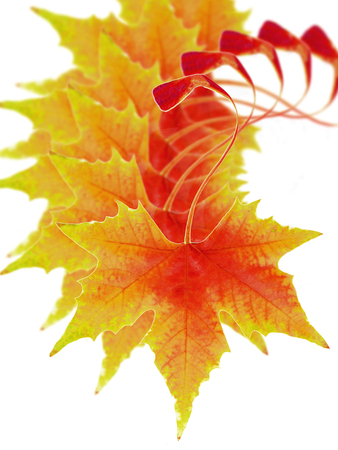 fall leaves: the fall of autumn leaves Stock Photo
