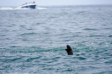 sea lion: sea lion on ballestas islands