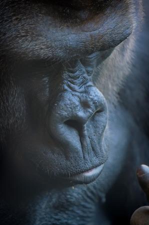 silverback: gorilla potrait