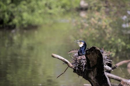 cormorant: cormorant nesting Stock Photo