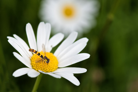 syrphidae: the hoverfly and daisy
