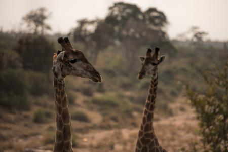 giraf in south africa