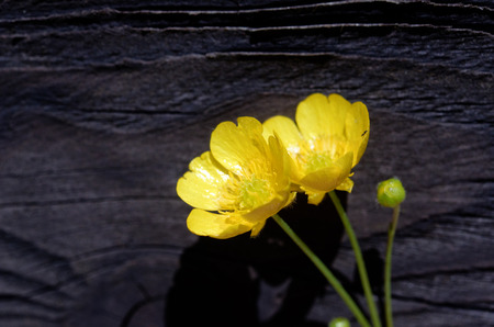 buttercup flower: buttercup flower Stock Photo