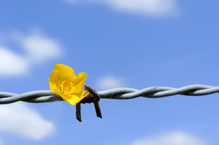 buttercup and barbed wire