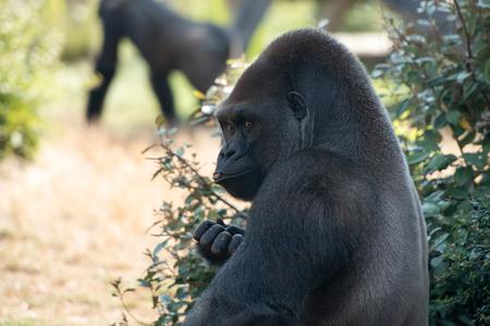 the male gorilla Stock Photo