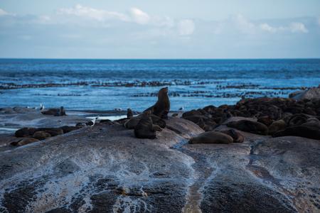 sea lion in hout bay