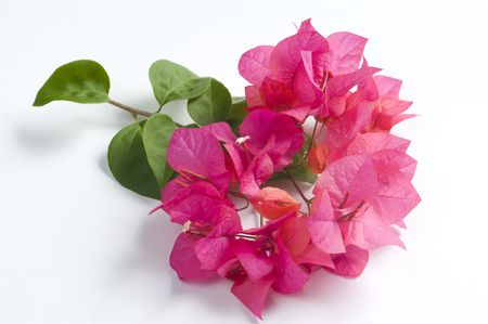 Bougainvillea flowers on white background Stock Photo