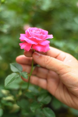 Pink Rose in a female Hand Stock Photo