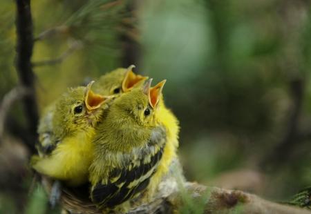 空腹の若い鳥の巣の上 写真素材