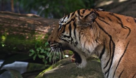 Close-up Malayan Tiger (Panthera tigris jacksoni) in the Forest photo