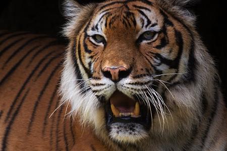 panthera: Close-up tigre malese Panthera tigris jacksoni