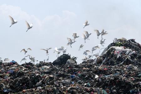 landfill site: uccelli che volano in discarica