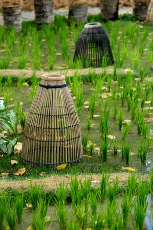 fish trap on paddy field photo