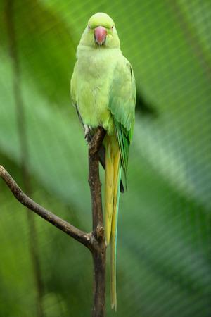 necked: Groene Indische Ring Necked Parkiet Stockfoto