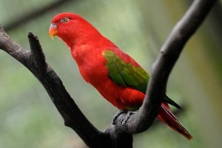 eos: Red Lory Parrot  Eos bornea