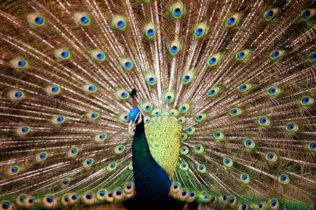 Indian Blue Peafowl  Pavo Cristatus