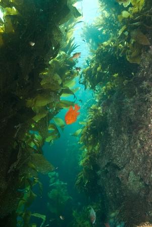 alga marina: Garibaldi en algas, Bird Rock Catalina Island