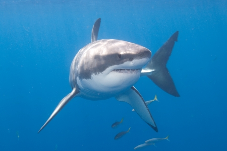 sharks: Great White Shark at Guadalupe Island Stock Photo