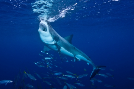 the great: Great White Shark Feeding at Guadalupe Island Stock Photo