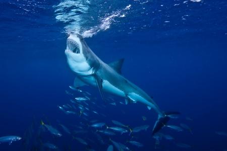 guadalupe island: Great White Shark Feeding at Guadalupe Island Stock Photo