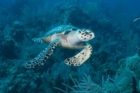 green sea turtle: Green Sea Turtle in Nassau Bahamas