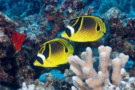 butterflyfish: Raccoon Butterflyfish at Maui Hawaii Stock Photo