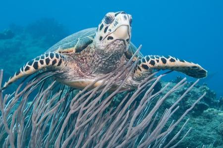green sea turtle: Green Sea Turtle Swimming above Reef at Saba