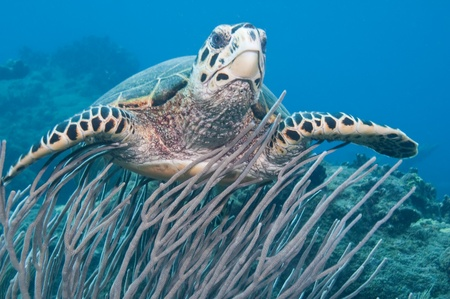 green turtle: Green Sea Turtle Swimming above Reef at Saba