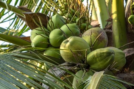 Coconut in thailand Stock Photo