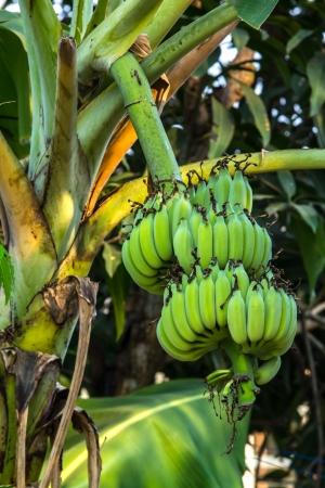 Bunch of banana Stock Photo