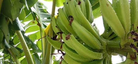 tasty and healthy raw banana bunch on garden