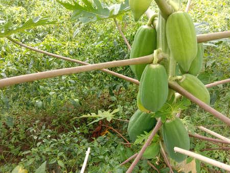 fresh healthy Green Papaya stock on tree