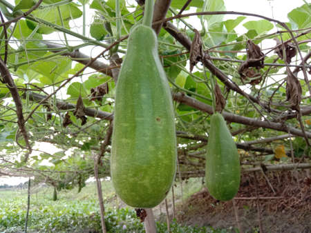 Bottle Gourd Closeup on Farm on lake and field