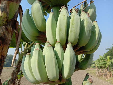 healthy raw banana bunch on tree in firm